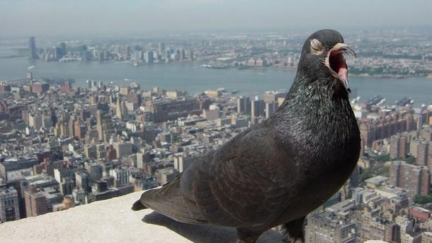 Обыкновенный сизый голубь смотрит на тебя как на ...